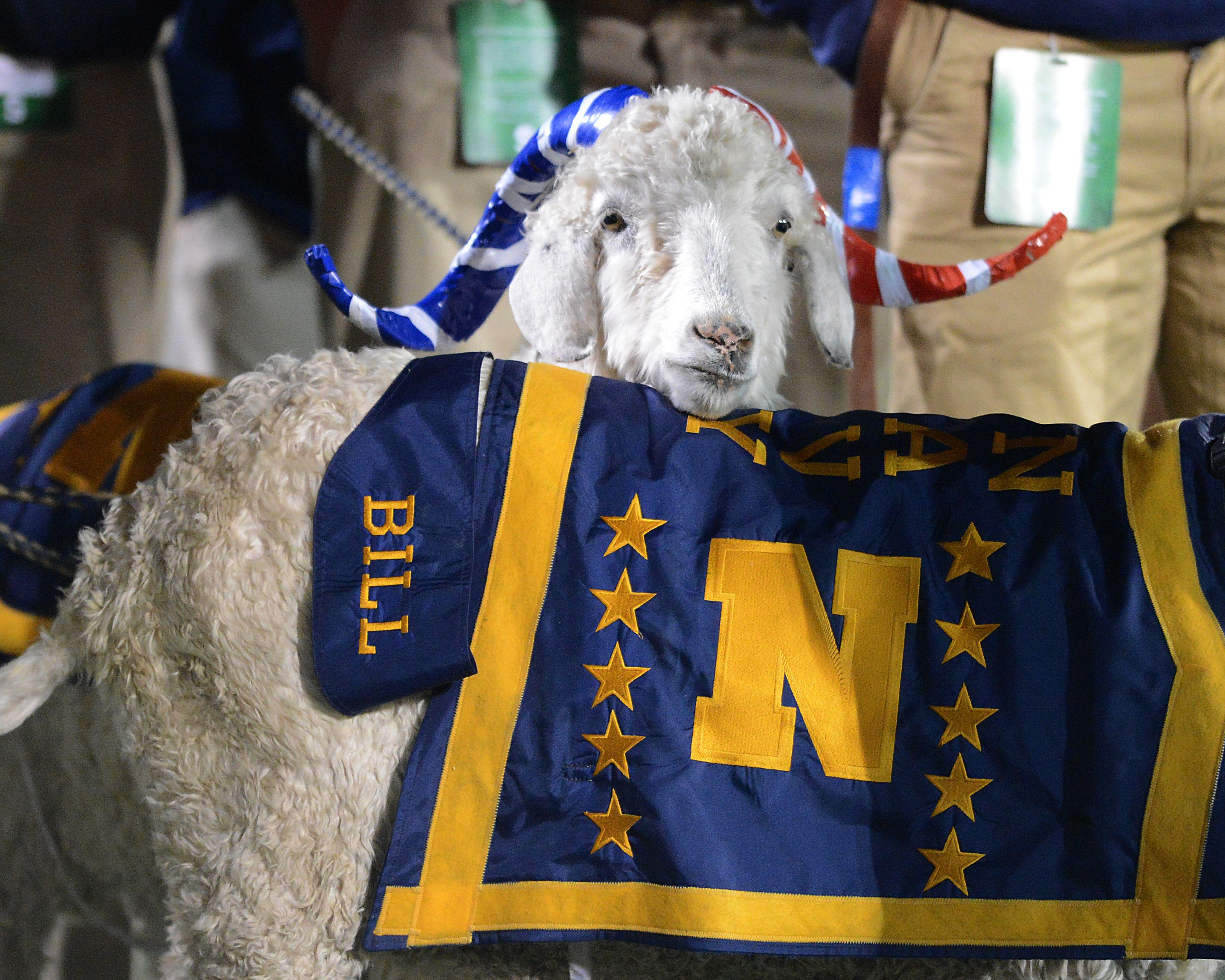 Bill the goat at the texas state game 2012 navy