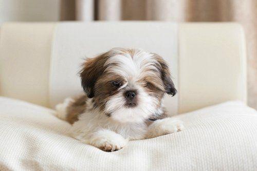 17 Small Dog Breeds That Are Good With Kids Shih Tzu Puppy Shih Tzu Shitzu Puppies