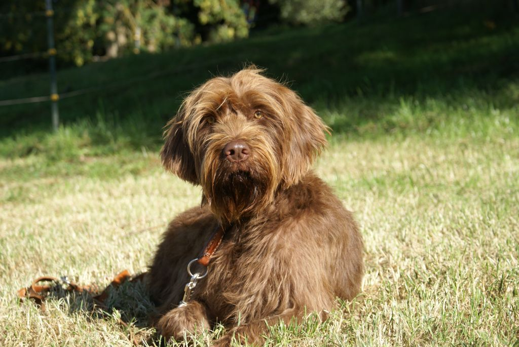 Pudelpointer German Hunting Poodle Hound Dogs Puppy Hunting