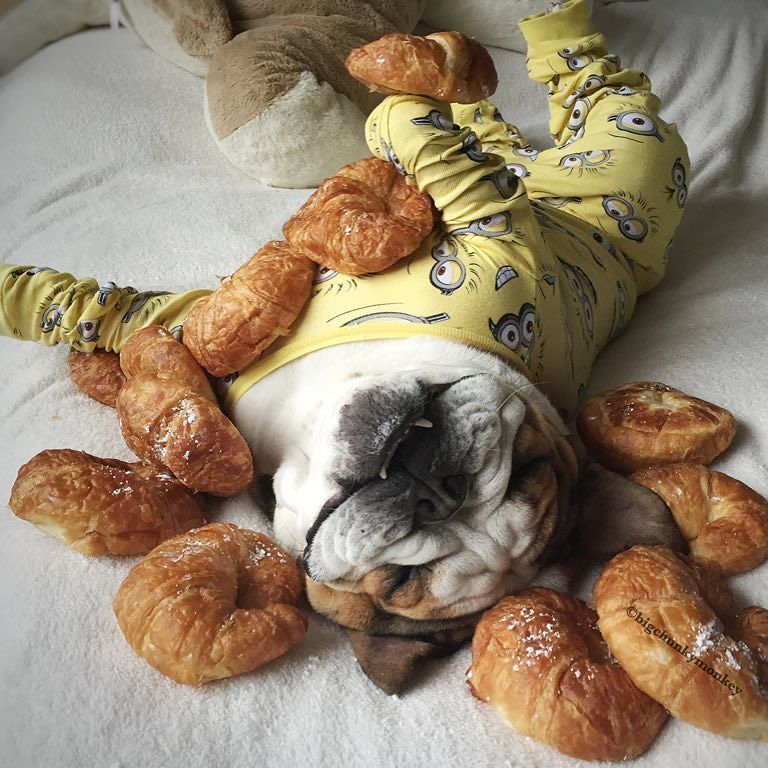 Moms says I'm like a croissant!! Wrinkly on the outside and full of fluff inside #NationalCroissantDay ------------------------------------------ Happy Birthday @thepugrupert I'm bring the Dough so don't worry about expenses your party is on me!! My love @daisygordita wouldn't have it any other way for you #Rupertsrager by bigchunkymonkey