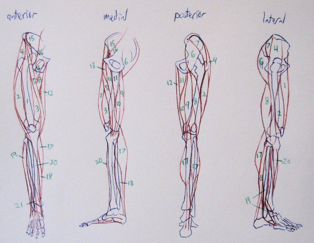 Leg Anatomy Notes by Soroneir on DeviantArt