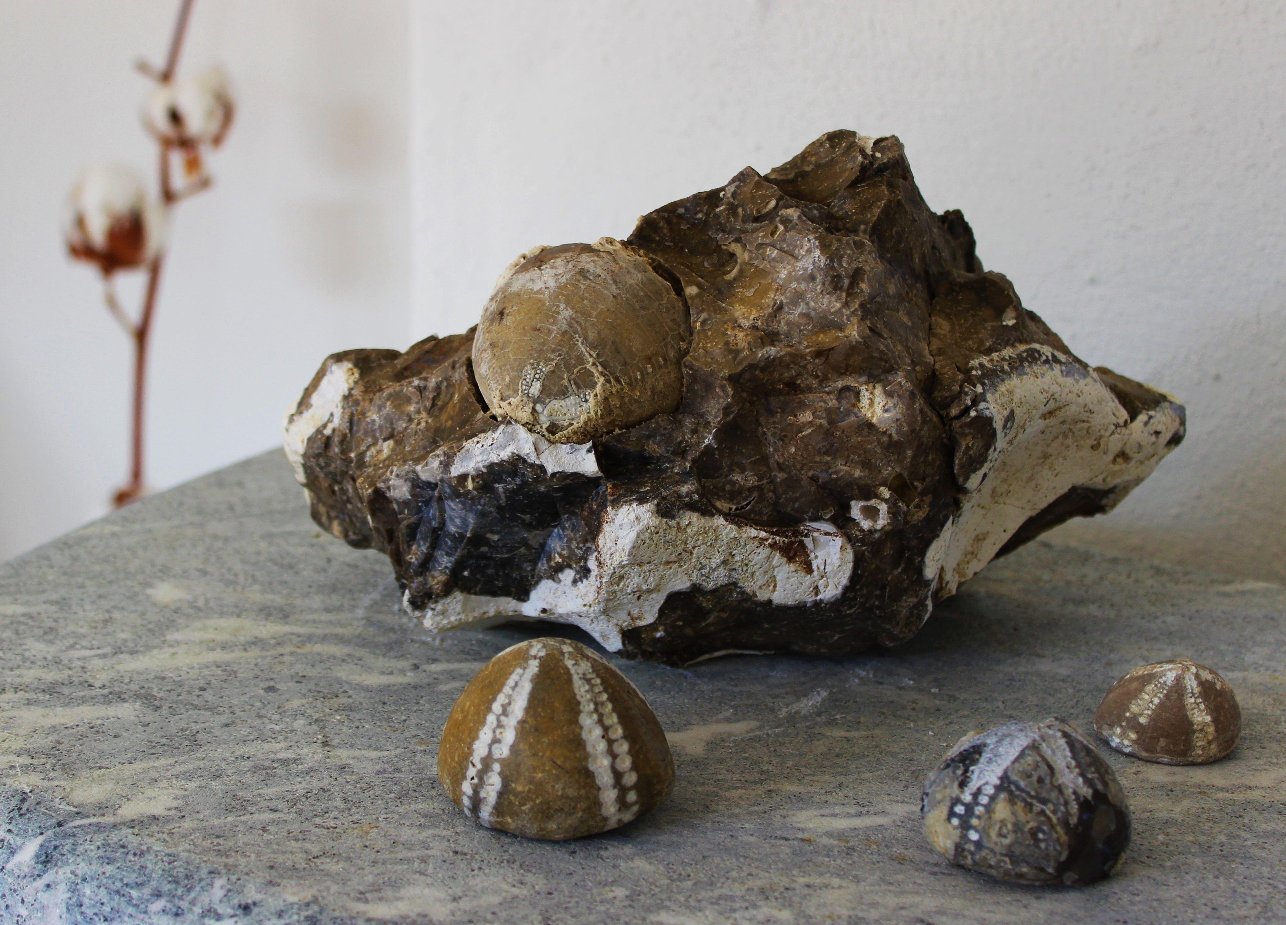 Irregulære fossile søpindsvin (Echinocorys) fra slutningen af kridttiden, ca. 65 mill. år. Den ene sidder endnu i en løs flinteblok. Fundet på Knud Strand, Salling, marts 2015.