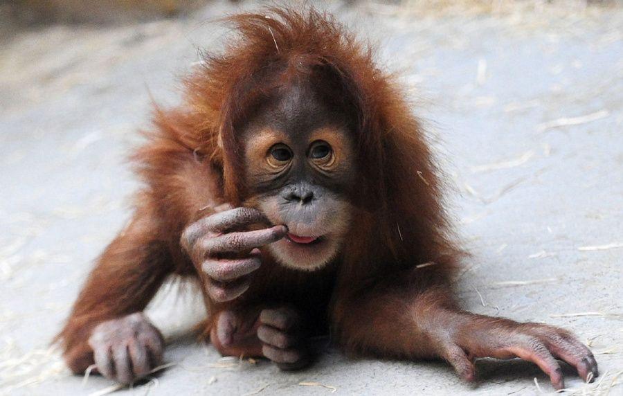 Baby Orangutan (With images)   Baby orangutan, Orangutan ...