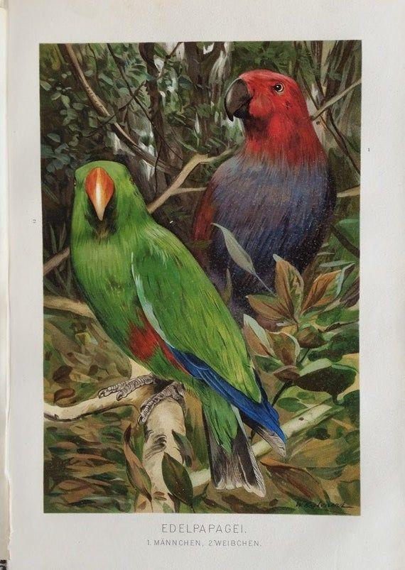 Antique Lithograph Poster Parrot 1893 Poster Prints En Antiek