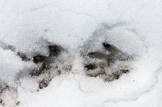 Woodchuck Tracks In Snow Cute Animals Cute Animals Animals