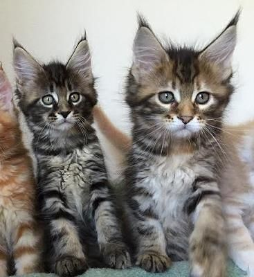 Pin Auf Beautiful Maine Coon Cats