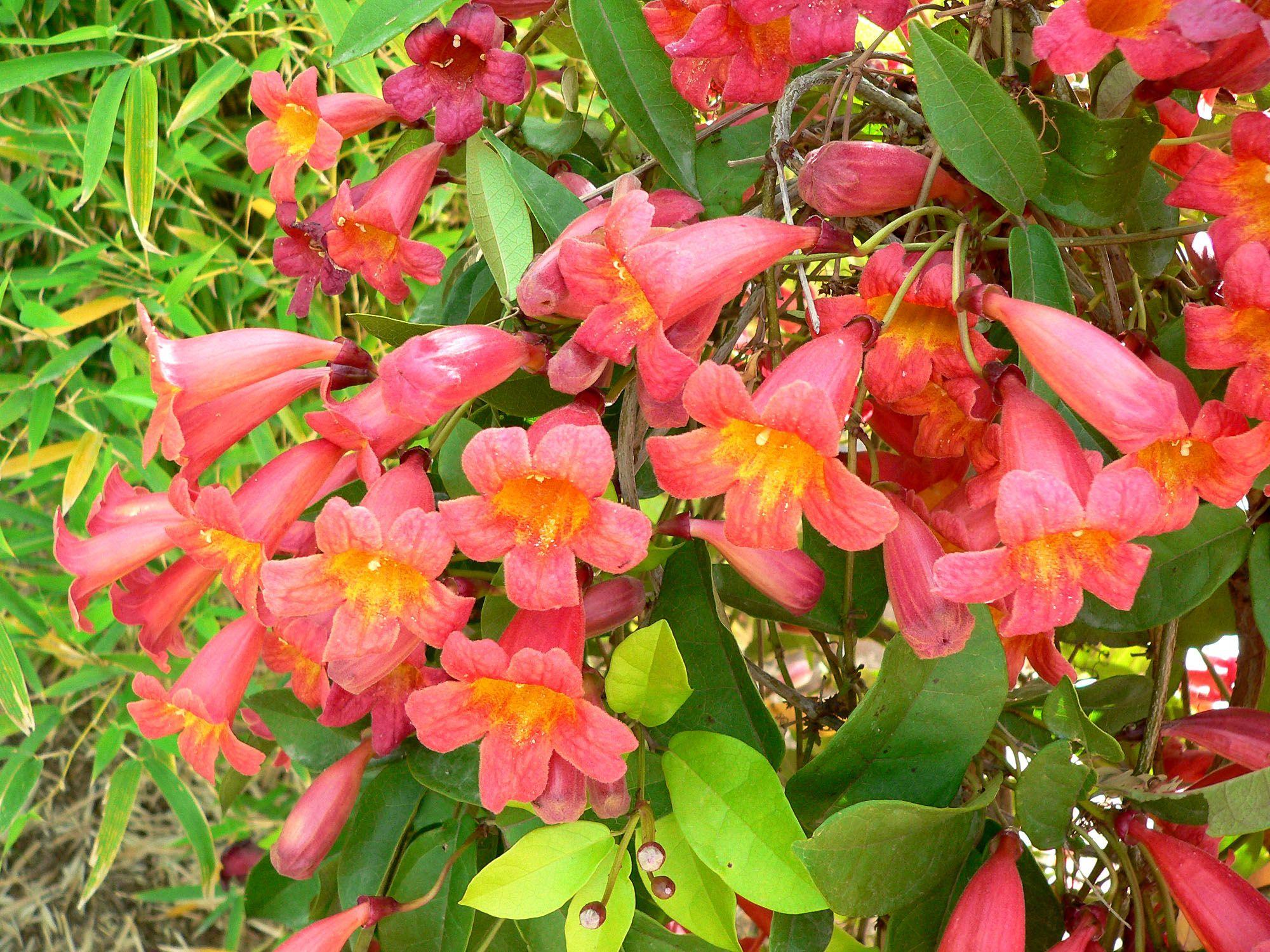 Orange Trumpet vine | I love flowers,their shape,their Colors,their ...