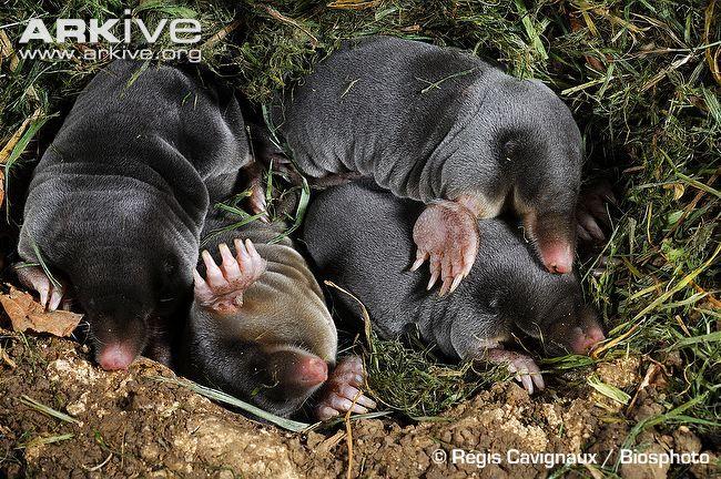 Company Mole