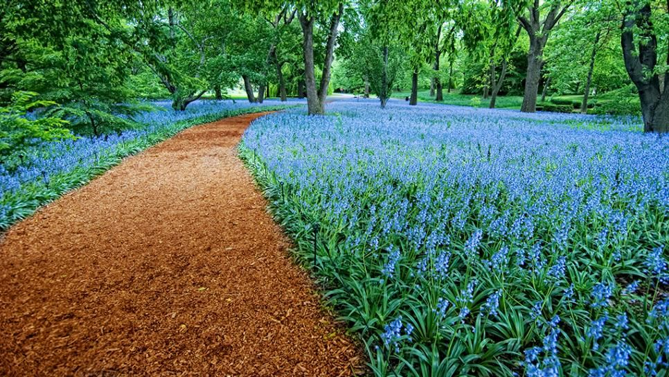 Brooklyn Botanical Gardens, Bluebells, Flowers, New York