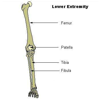 Leg and Thigh Bones | Leg bones | Pinterest | Anatomy, Legs and Remedies