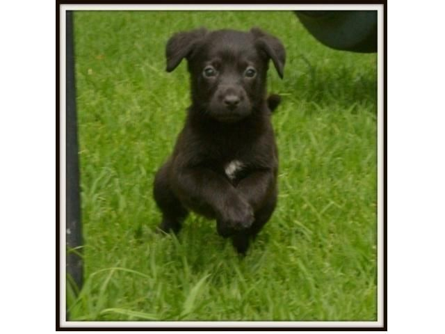 Labrador X Rottweiler Pup Midrand Puppies Animals So Cute