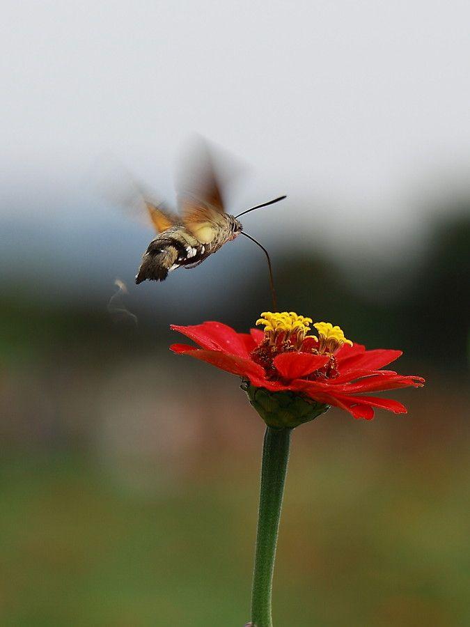 .hawk moth.!! by chu byung ook on 500px