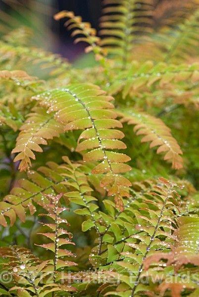 Adiantum aleuticum 39 japonicum 39 portraits by heather for Especies ornamentales