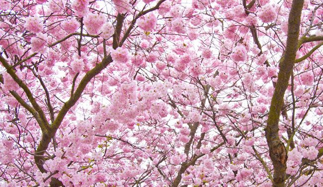 A Summer Prayer Cherry Blossom Tree Blossom Trees Cherry Blossom Meaning