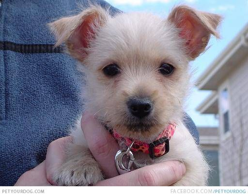 D 415 Chestie Puppy Westie Puppies Cute Baby Animals