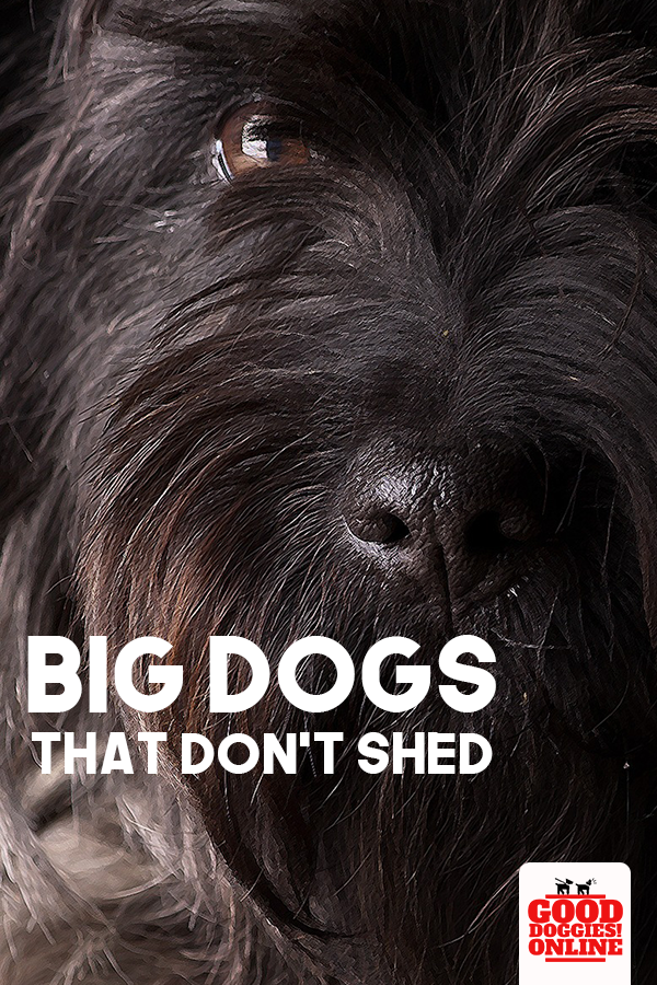 Large Dog Breeds That Don T Shed With Images Dog Breeds Dog Breeds That Dont Shed Large Dog Breeds
