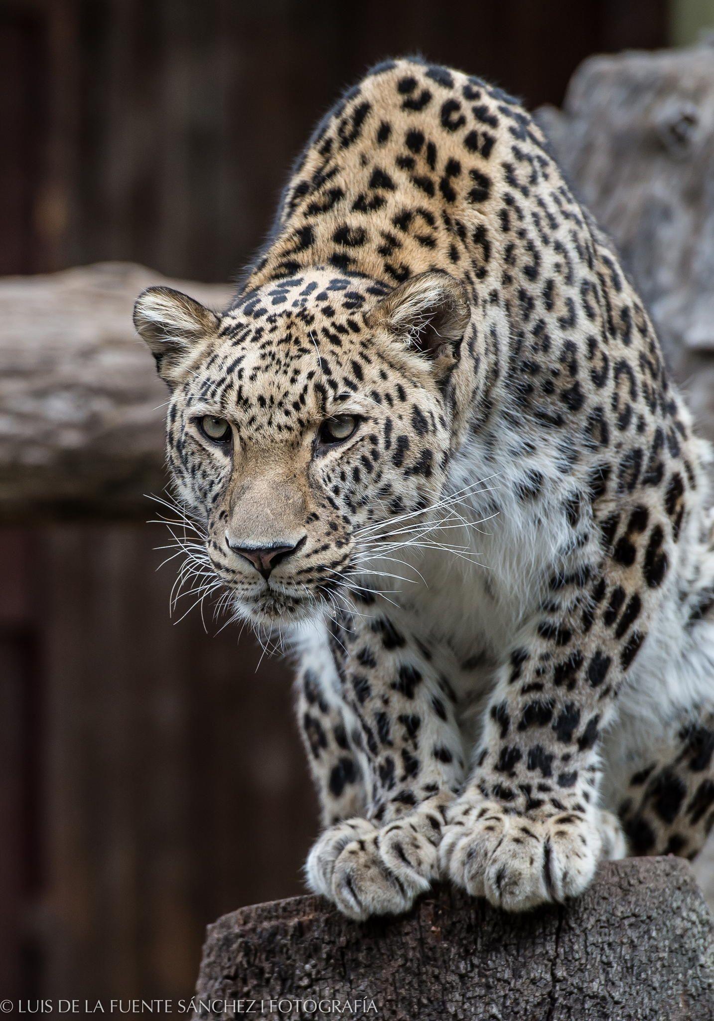 Leopardo Amazing animal pictures, Animals wild, Wild cats