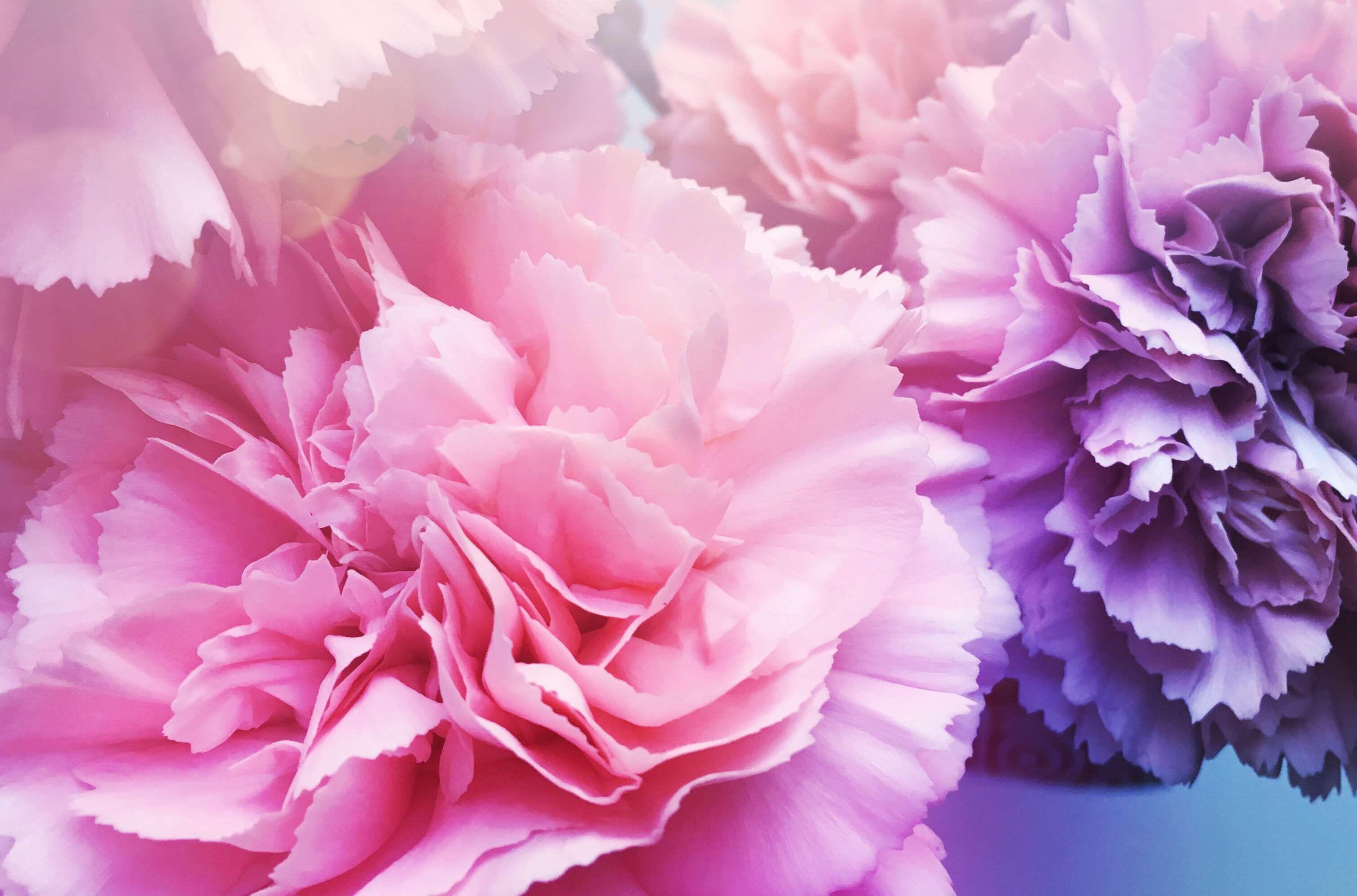 Flowers Pink Mauve Purple Flower Carnation Purple Carnations Carnations Flowers