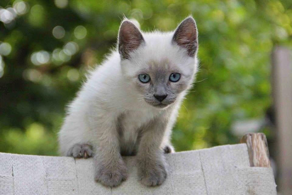 Chaton siamois love siamese cats chatons siamois siamois et chaton - Chaton tonkinois ...