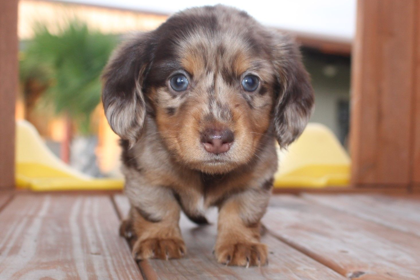 Hello I M A Cutie Muddy River Dachshunds Call For Availability Of Puppie Dachshund Puppy Miniature Miniature Dachshund Breeders Dachshund Breeders