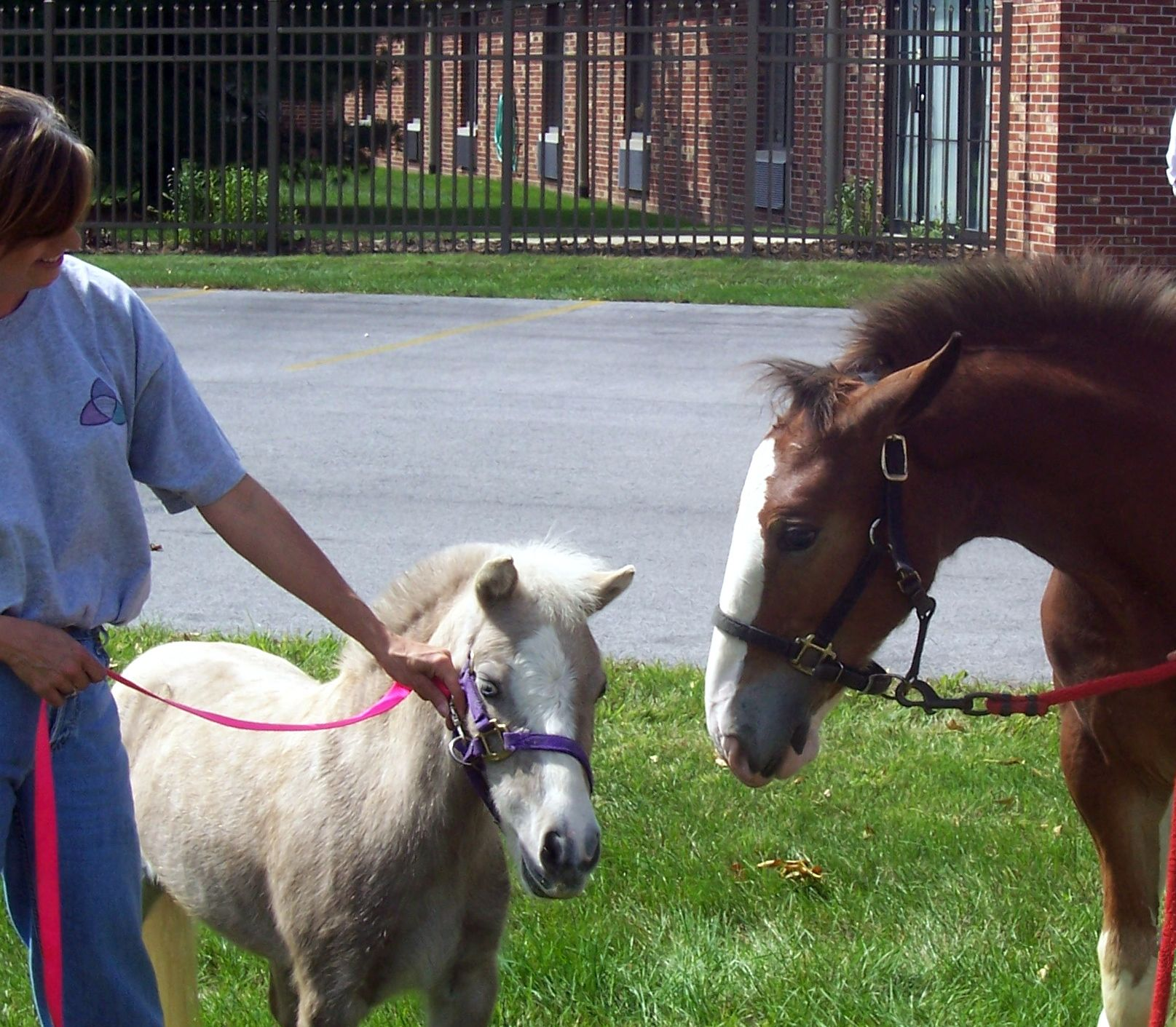 """Fiona, our full grown, silver dapple, miniature horse meets a 4 month old Clydesdale foal at a local outreach. Fiona stands 31"""" at her withers."""