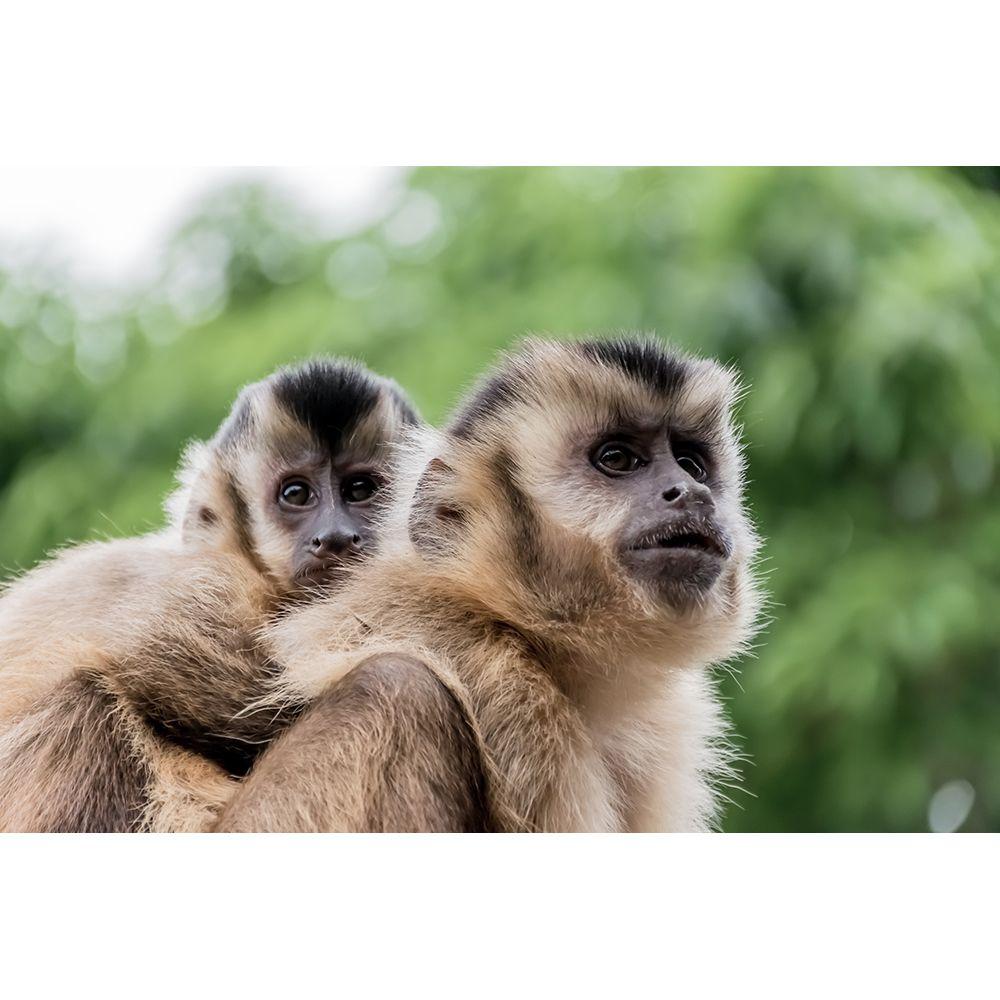 eterno os macacos prego são animais de hábitos diurnos que vivem em