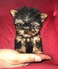 Pocket Puppies Boutique Chicago Available Puppies Teacup Puppies