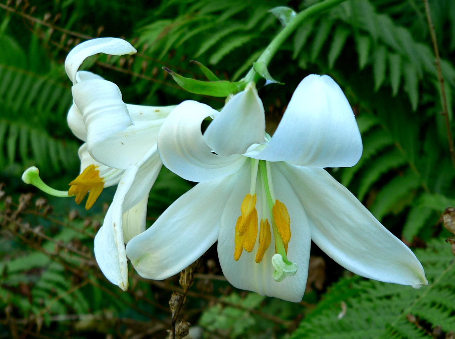 Lilium candidum madonna lily section liriotypus liliaceae perennial madonna lily canadian gardening lilies easter or madonna lilies and lilies of the valley white color and sweet fragrance symbolize marys dhlflorist Choice Image