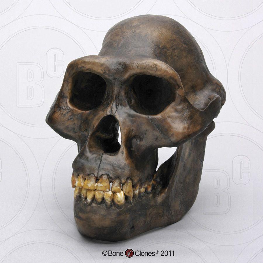 Australopithecus afarensis Skull - Bone Clones, Inc ...