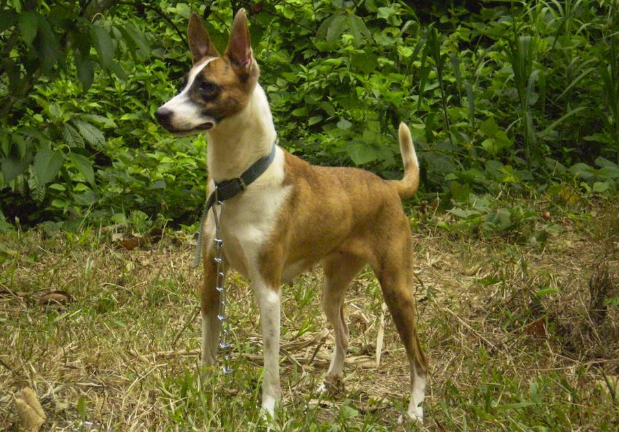 World S Rarest Dog Breed Telomian The Telomian Is The Only Known