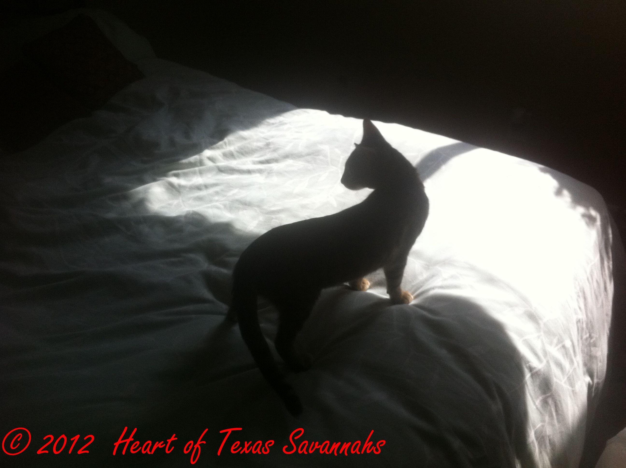Male F5 SBT Savannah kitten for sale Available Savannah