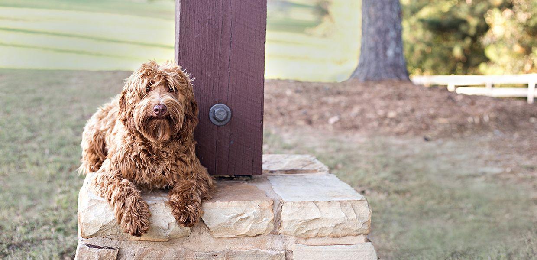 We Are Georgia S Premier Breeder Of Non Shedding Allergy Friendly Registered Multigenerational Australian Labradoodle Australian Labradoodle Puppies For Sale