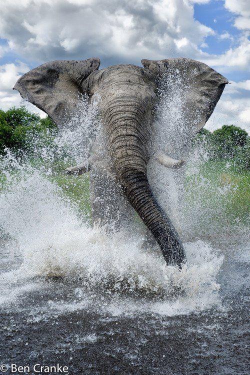Pin Von Paulina Job Auf Ele Elefanten Fotos Ausgestopftes Tier Chobe National Park