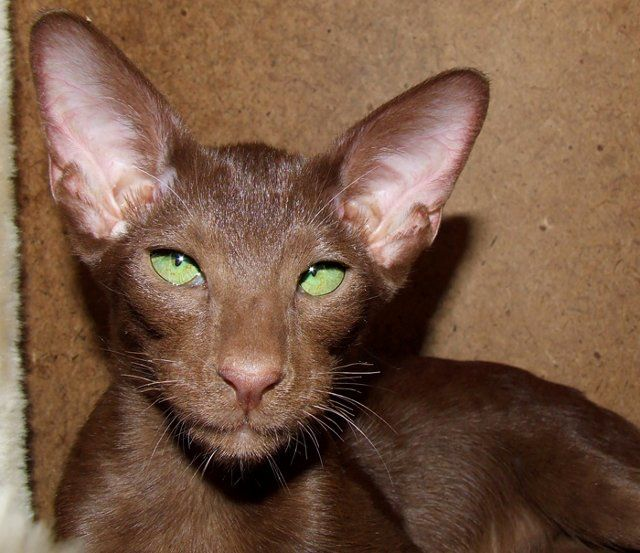 Preloved Cats Kittens For Sale Uk And Ireland Cute Cats And Dogs Oriental Shorthair Cats Beautiful Cats