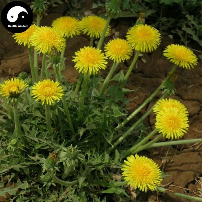 Buy Herba Taraxaci Seeds 400pcs Plant Mongolian Dandelion Herb For Pu Gong Ying Medicinal Herbs Herb Seeds Herbs
