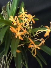 Neofinetia falcata x Asco. miniatum Orchid hybrid richy flower  DMCa001