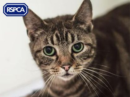 Tony Domestic Shorthair Crossbreed Cat 3 Years Rspca Derby And