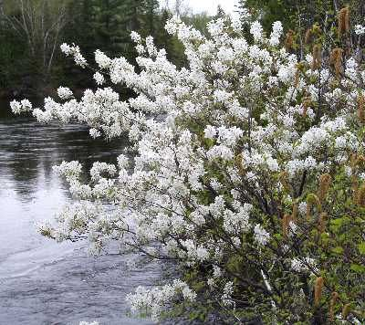 Serviceberry Is A Small Tree Native To The Appalachians White