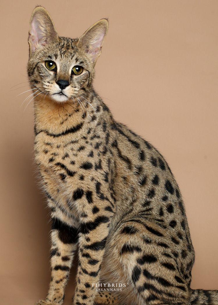 Pin By Yamileth Parafita On Pets In 2020 Savannah Kitten Savannah Cat Savannah Chat