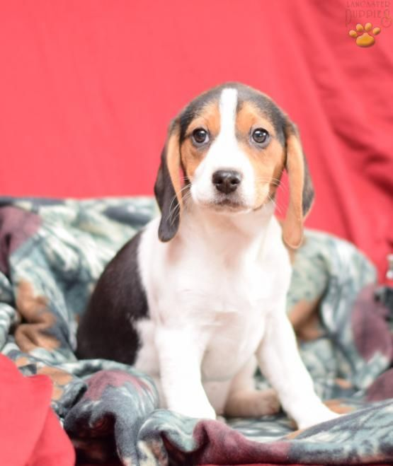Penny Beagle Puppy For Sale In Millersburg Oh Lancaster