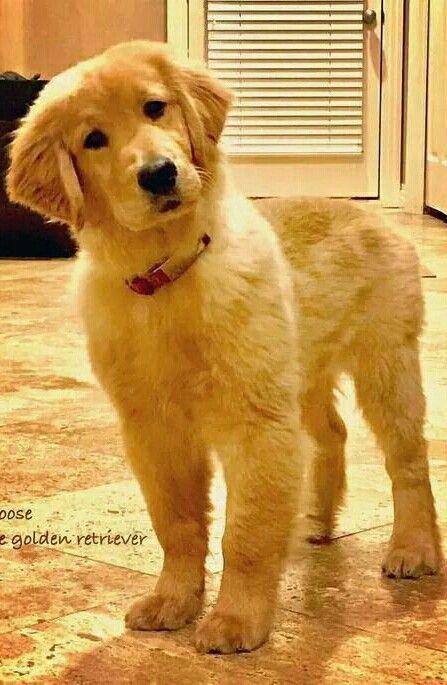 Pin Af Igot7 Army Pa Dogs Golden Retriever Nuttede Hvalpe Hundehvalpe