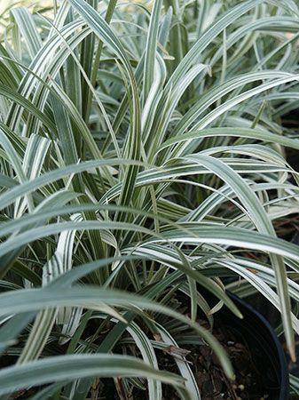 Liriope Spicata Silver Dragon Foliage Plant For Boxwood Parterre