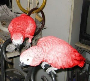 Exotic Red Factor African Greys For Sale - Reds 4 Sale