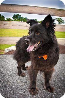 Elizabethtown Pa Shepherd Unknown Type Chow Chow Mix Meet Bruno A Dog For Adoption Kitten Adoption Dog Adoption Pets