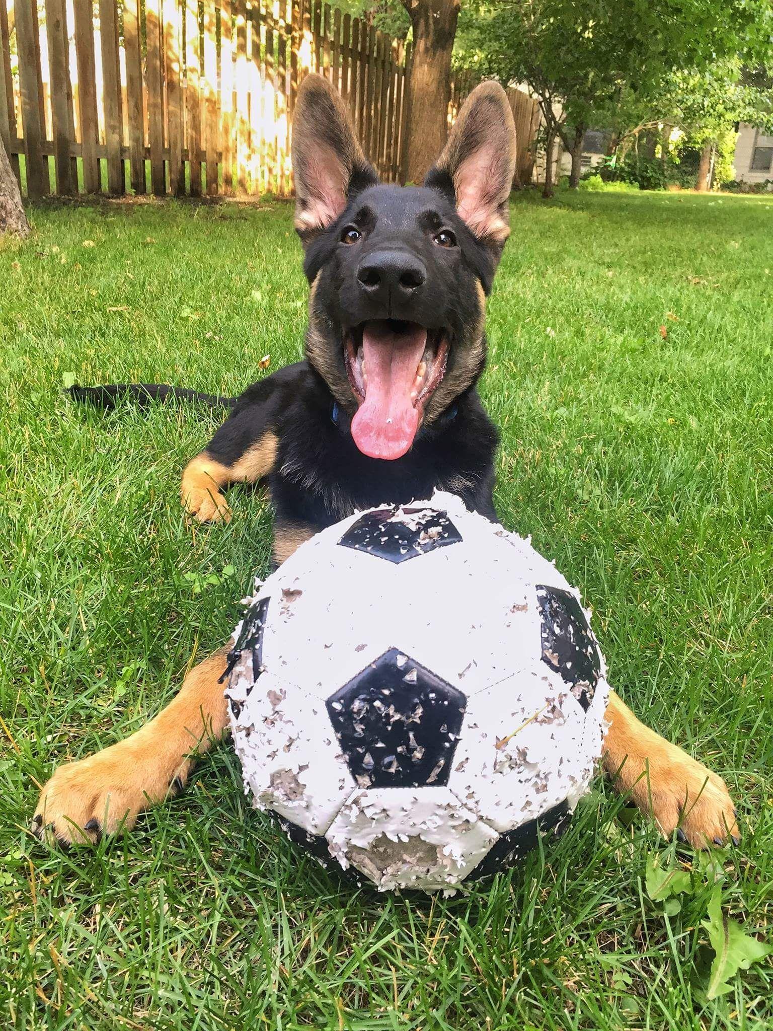 German Shepherd Dog dog for Adoption in Blaine, MN. ADN