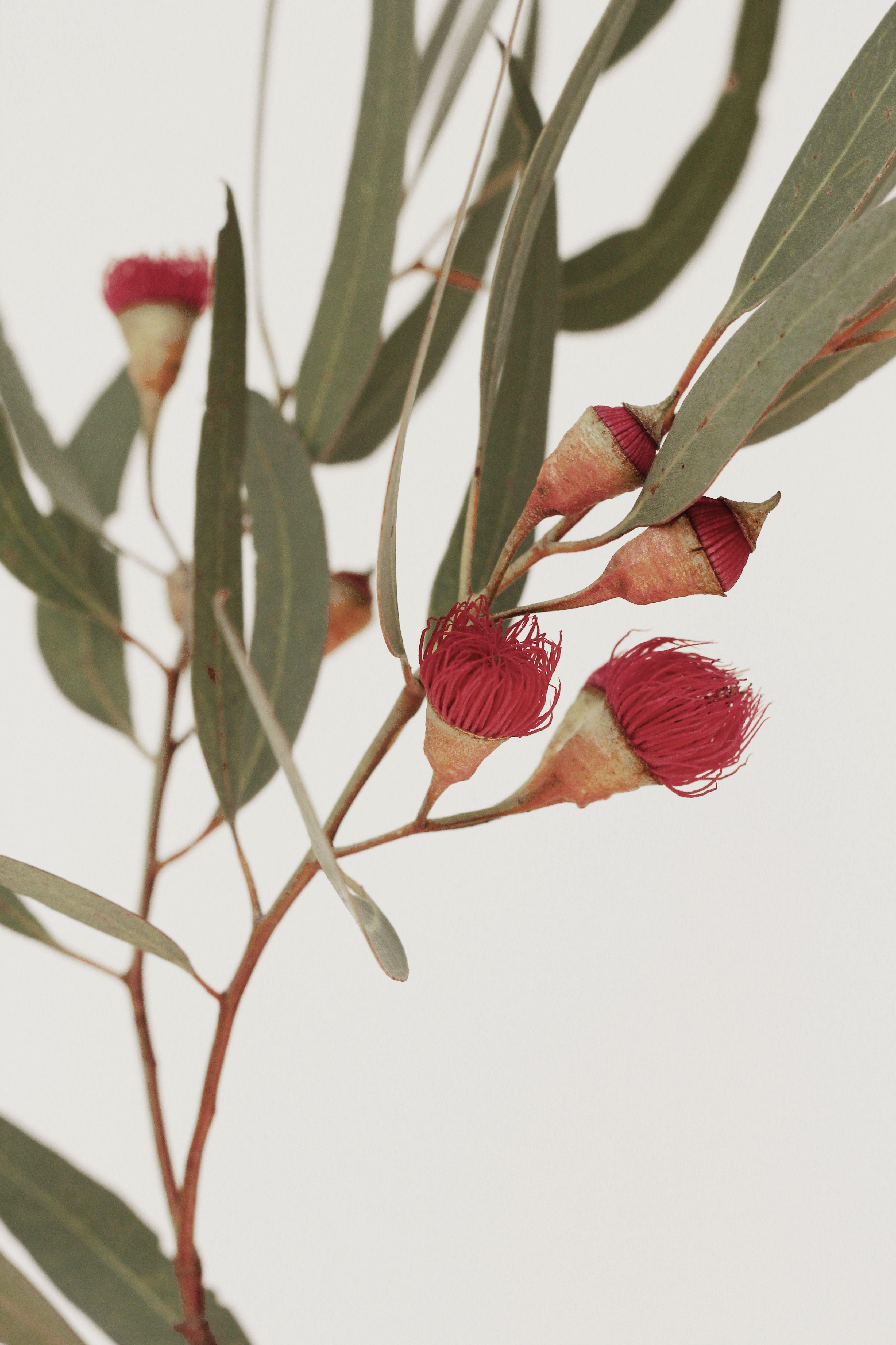 Native Australian Flower Printable Art Botanical Digital Wall