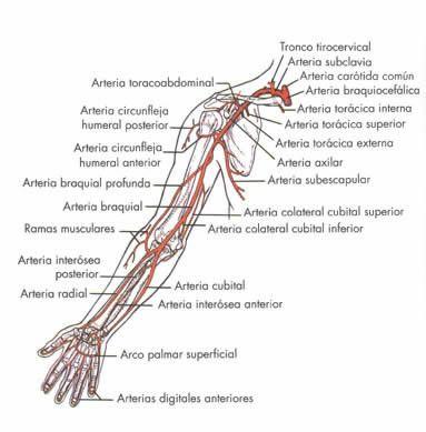 lamina de las venas y arterias del brazo con sus nombres para ...