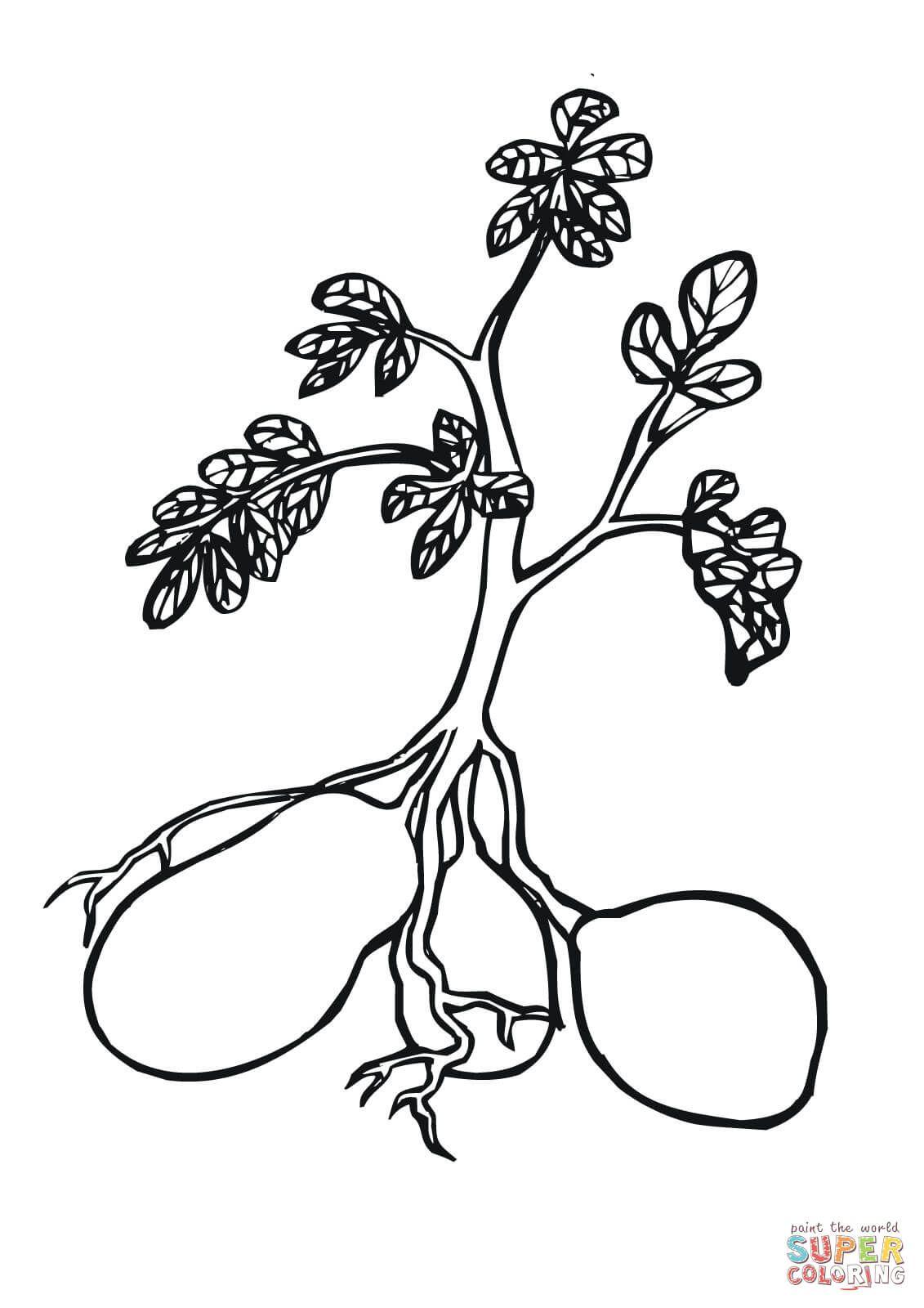 Potato Plant Coloring Page