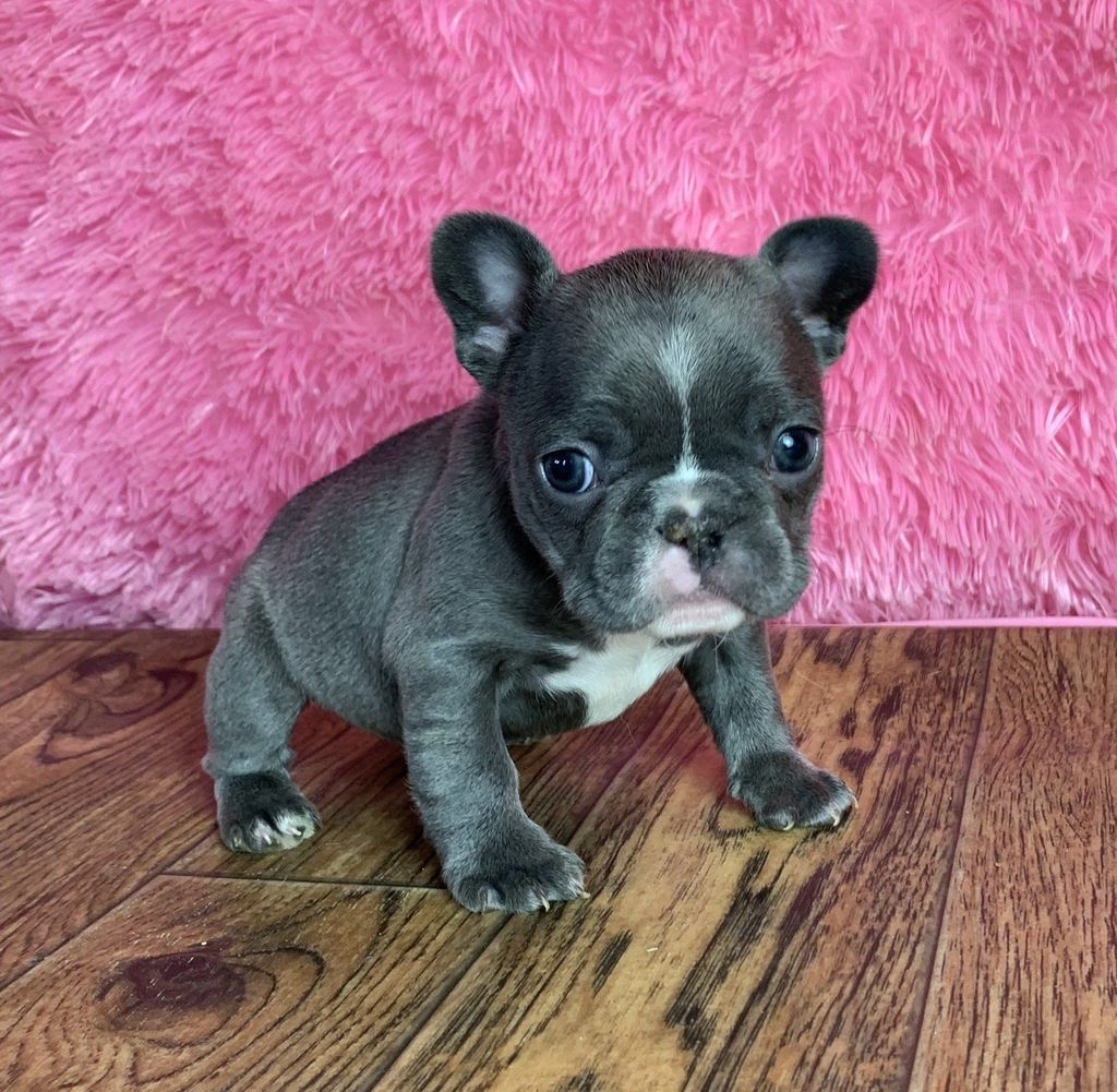 Emmy Female AKC French Bulldog (Full Price 3500.00