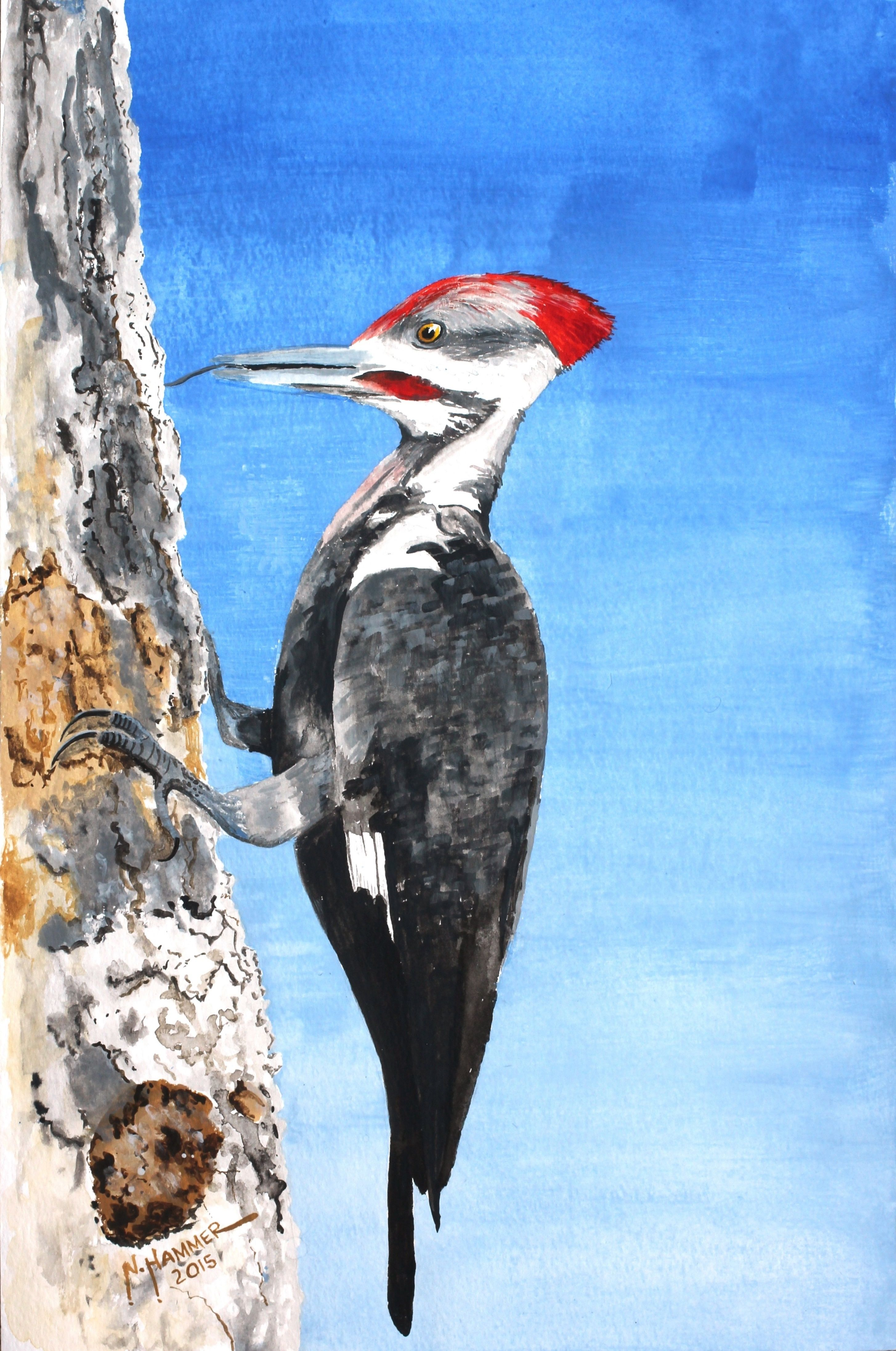Pileated Woodpecker Watercolor From A Brenda
